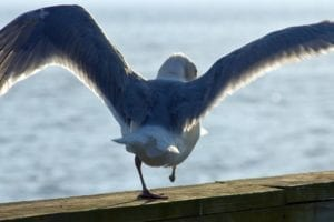 amputee bird